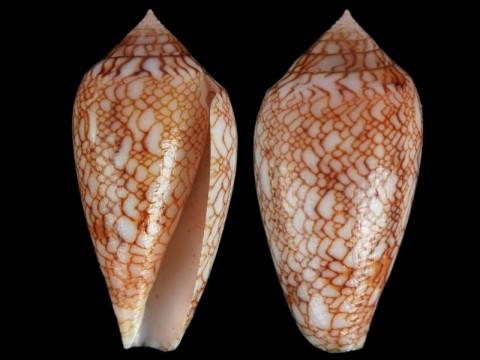 Conus (Cylinder) archiepiscopus suzannae   van Rossum, 1990 6010_5